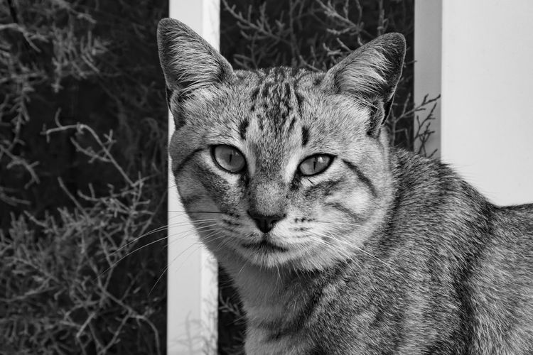 EyeEm Selects Cat Feline Animal Themes Animal Portrait Mammal Vertebrate One Animal Looking At Camera No People Close-up Pets Day Domestic Animals Big Cat Whisker Domestic Cat Carnivora Domestic Animal Body Part Black And White Black & White Black And White Photography Focus On Foreground My Best Photo