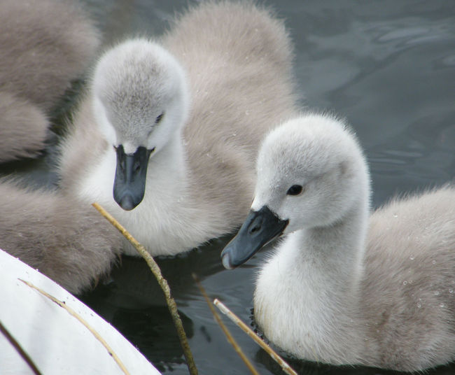 Close Up Of Cygnets