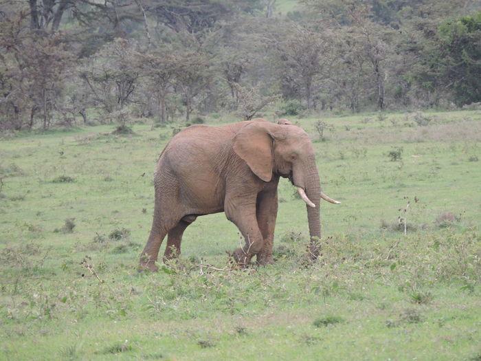 Elephant Grazing On Field