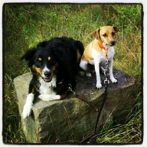 My Dogs Are Cooler Than Your Kids Aussie Dansk-Svensk Gårdshund Australianshepherd