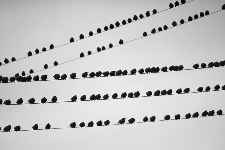 Birds Blackandwhite Clear Sky Day Flock Flock Of Birds In A Row Large Group Of Animals Low Angle View Nature No People Outdoors Power Lines Sky Starlings