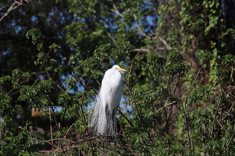 White egret perched in a tree