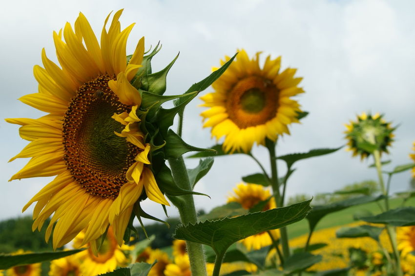 our sunflowers Campi Flowers Green Italy Landscape Märchen Orange Sunflower Yellow Yellow Flower
