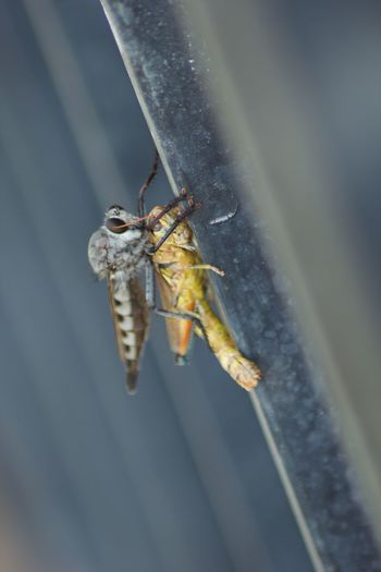 A Robber Fly