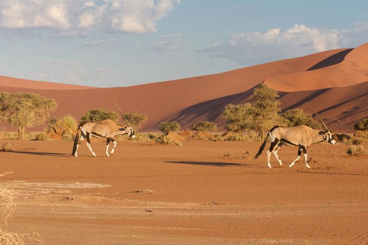 Oryx walking on desert against sky