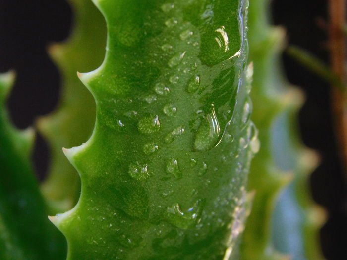 Aloe Vera Leaf Aloe Vera Leaf Wet Leaf Foreground Focus Green Color Plant Leaf Close-up Nature Growth Freshness No People Beauty In Nature Outdoors