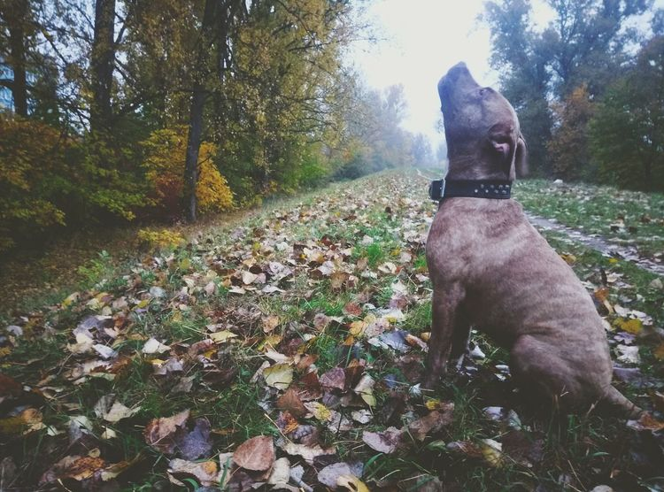 Dog Pets One Animal Domestic Animals Tree Growth No People Outdoors Day Beauty In Nature Nature Animal Themes Nature Dogs Grass Bulldogs Pitbull Loyalty Dog Love Pitbulls Apbt Americanpitbullterrier Pitbullterrier Bullybreed Bullylove