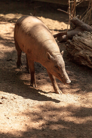 North Sulawesi Babirusa also called Babyrousa celebensis is a porcine animal found in Indonesia Babyrousa Celebensis North Sulawesi Babirusa Sulawesi Babirusa Animal Themes Animals In The Wild Babirusa Day Domestic Animals Field Full Length Livestock Mammal Nature No People One Animal Outdoors Pig Poricine Shadow Standing Sunlight Wildlife
