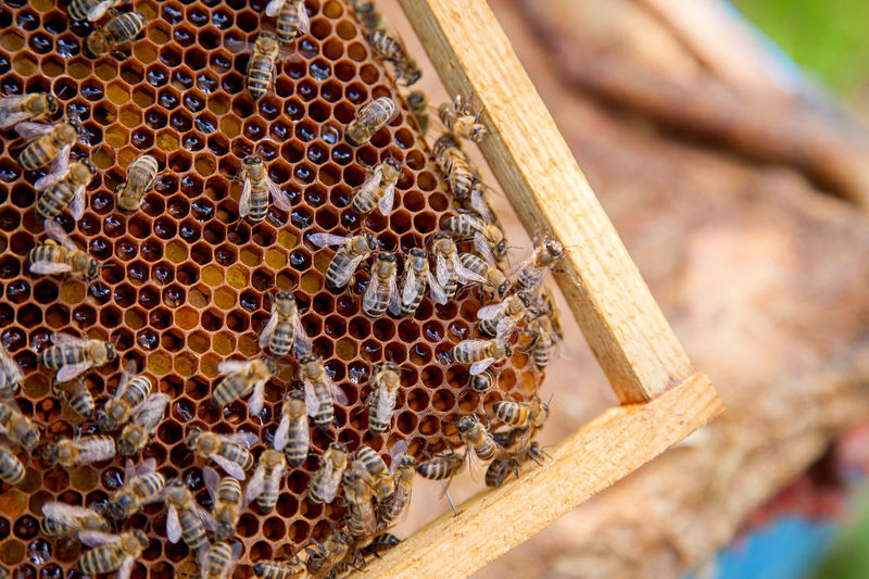 Animal Animal Themes Animal Wildlife Animals In The Wild APIculture Beauty In Nature Bee Beehive Close-up Group Of Animals Honey Honey Bee Honeycomb Insect Invertebrate Large Group Of Animals Nature No People Wood - Material Zoology