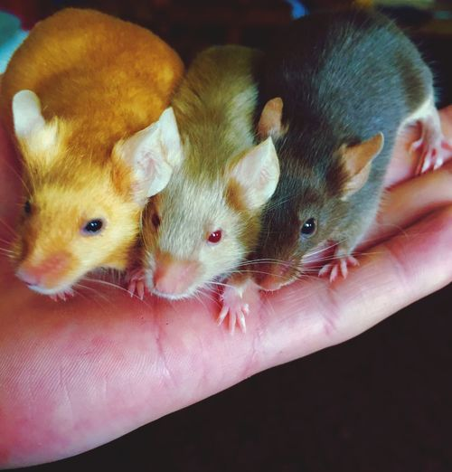 Three Little Mice Goldi Silvi Browny Human Hand Holding Pets Animal Themes Indoors  One Person Human Body Part Real People Mammal Domestic Animals Close-up Young Animal People Three Animals Multi Colored