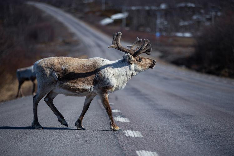 Reindeer crossing road