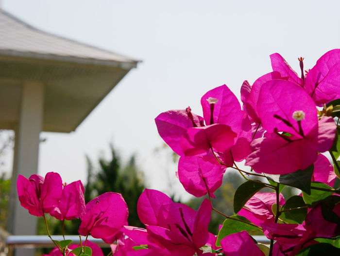 Selective focus of outdoor reddish orange Bougainvillea flowers planted outside to decorate a house Bougainvillea Flowers Decorate At Home Feung Fa Feungfa Blossom Nature Natural House Outdoor Petal Bright Afternoon Summer Refreshing Relaxing Nature Outdoors Freshness Growth Flower Plant Selective Focus Pink