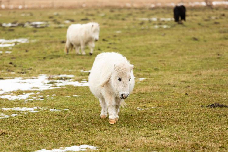 White dog walking on field