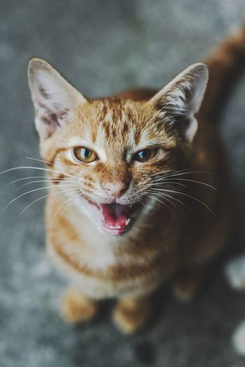 hungry cat Pets Portrait Looking At Camera Domestic Cat Feline Cute Close-up Kitten Young Animal Animal Tongue Cat Animal Eye Stray Animal Animal Family EyeEmNewHere