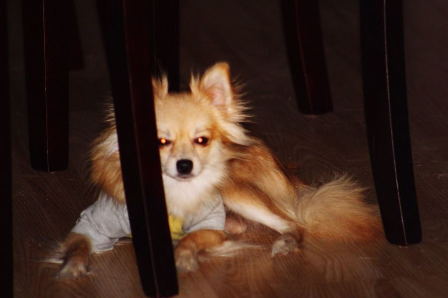 Pet Portraits EyeEm Selects Lola❤️ Pomeranian Chihuahua Mix Chillin' My Fur Baby Domestic Animals Animal Themes Pets Canon_photos