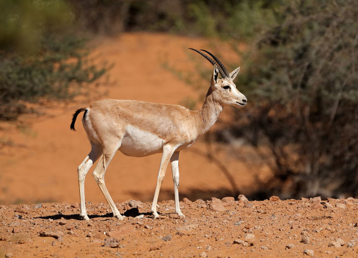 Side view of gazelle standing on field