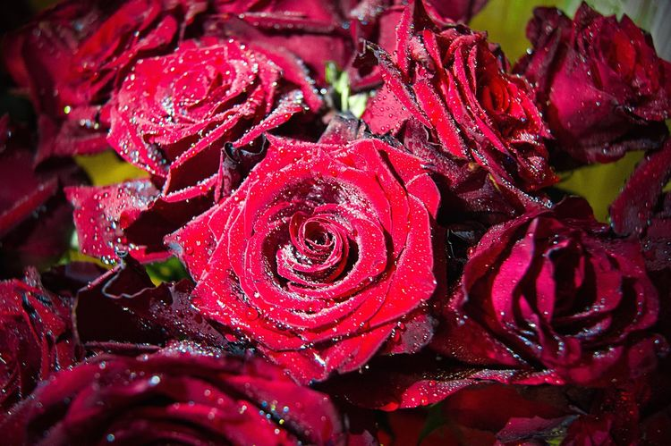 🌹🌹🌹🌹🌹 Flower Beauty In Nature Red Freshness Rose - Flower Rosé Water Nature Flower Head