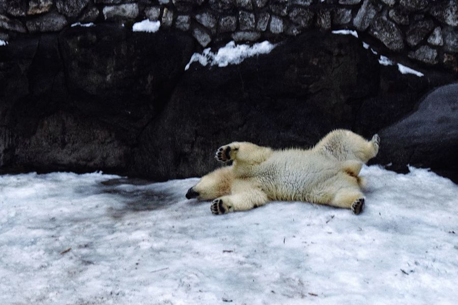Polar bear series Winter Snow Cold Temperature Polar Bear Nature Animal Themes Animals In The Wild Animal Wildlife Bear Mammal One Animal Weather Full Length Beauty In Nature No People Outdoors Day Zoo Animals Bear Winter Neighborhood Map