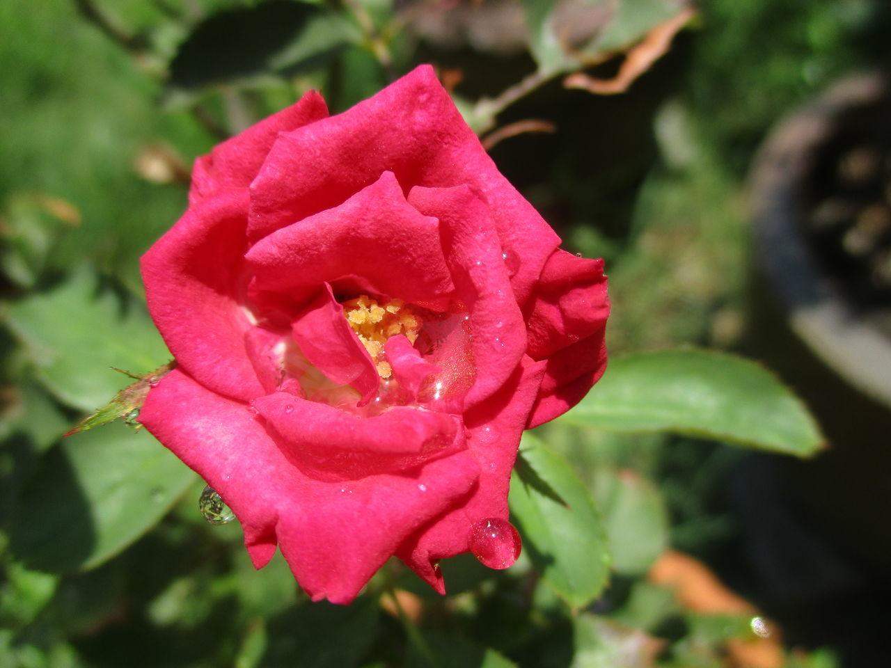 flower, petal, beauty in nature, nature, growth, fragility, flower head, rose - flower, freshness, drop, plant, wet, no people, outdoors, day, pink color, blooming, focus on foreground, close-up, water