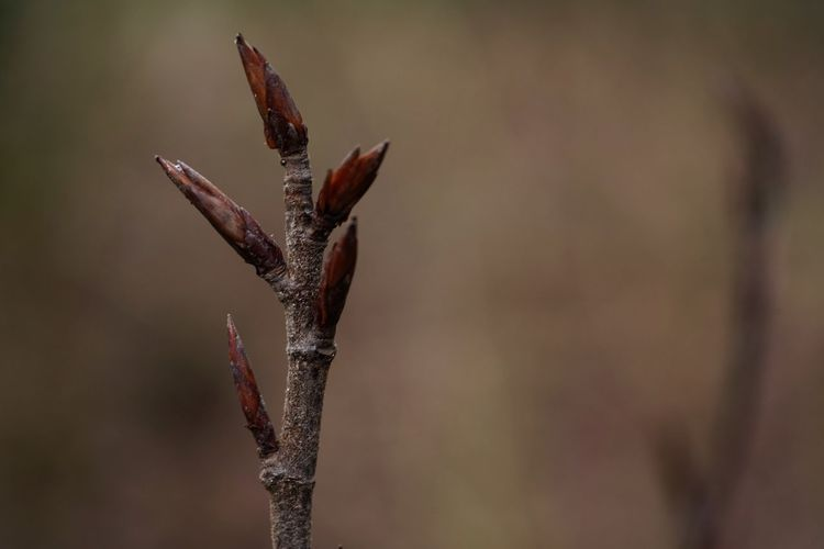 Spring Is Coming  Details Of Nature Ready For Spring Nature Backgrounds Macro Nature Copy Space EyeEm Selects Close-up Focus On Foreground Growth No People Nature Plant Beauty In Nature Plant Stem Tranquility Fragility Vulnerability  Twig Brown Outdoors Day