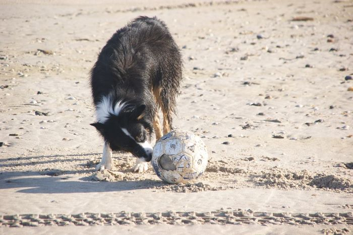 EyeEm Selects Dog Sand Ball Pets Beach Soccer Ball Domestic Animals One Animal Playing Animal Themes Animal Border Collie Puppy Mammal Soccer Outdoors Day No People Nature Niederlande Noord-Holland Australian Shepherd  Aussies Hund