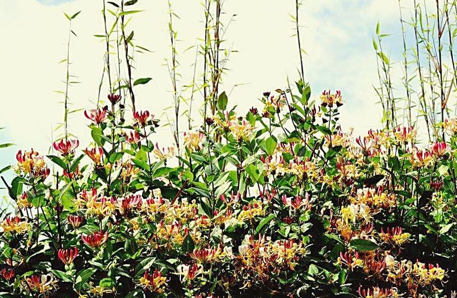 Summer Fragility Flower Plant Honey Suckle Hedgerow EyeEm Best Shots EyeEm Selects EyeEmNewHere EyeEm Best Shots - Nature The Week On EyeEm Tranquility Beauty In Nature Scent Aromatic Plants