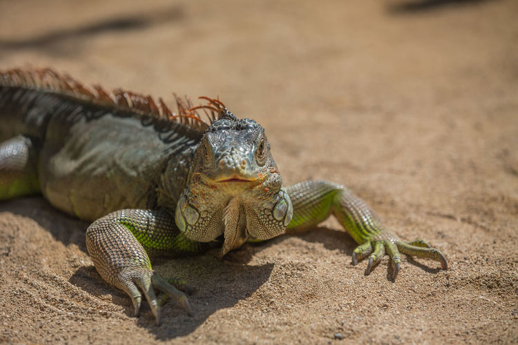 Portrait of iguana on ground