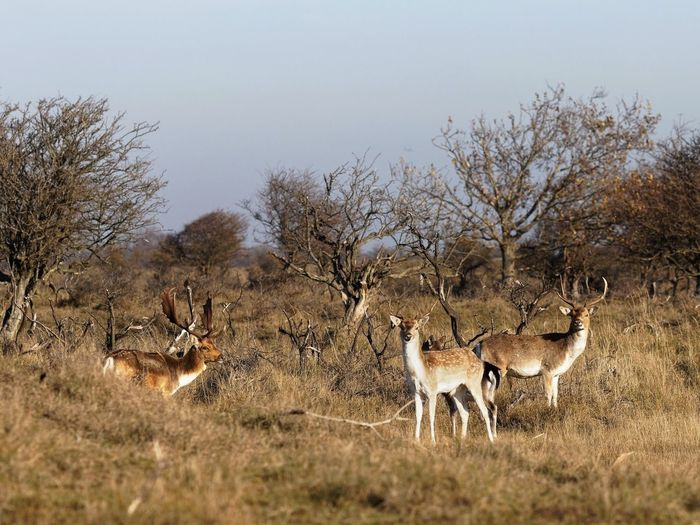 Stag Party Dunes Of Holland Animal Animal Themes Animals In The Wild Tree Plant Animal Wildlife Group Of Animals Beauty In Nature Landscape Nature Deer
