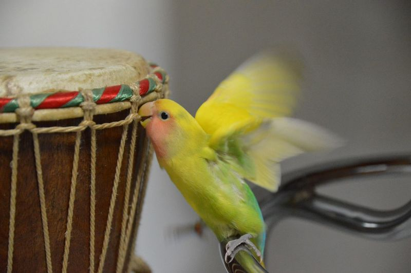 Bird Flapping Wings By Drum