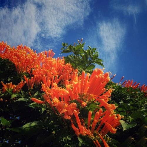 Flame vine & blue sky Flame Vines Orange Flowers Flower Growth Freshness Blooming Flower Head Flowers And Sky Blue Sky And Clouds Color Explosion Bold Colors