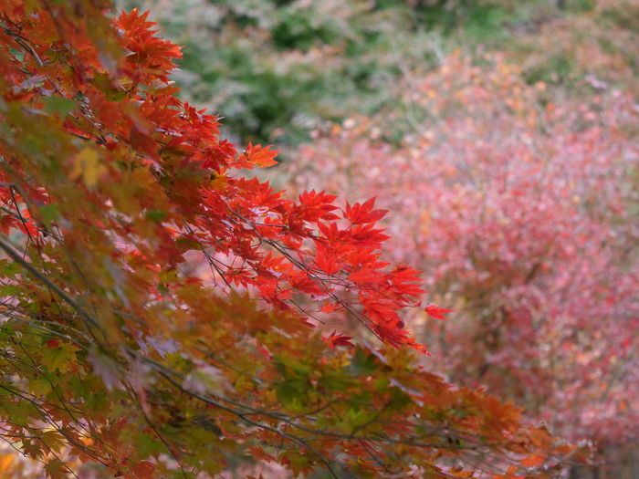Autumn Change Plant Red Beauty In Nature Leaf Plant Part Growth Nature Selective Focus Close-up Orange Color Tree Day Maple Leaf No People Maple Tree Outdoors Flower Flowering Plant Natural Condition Autumn Collection