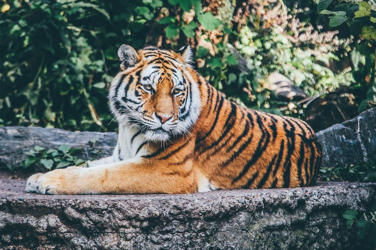 One Animal Animals In The Wild Animal Wildlife Tiger Animal Themes Day Nature Outdoors No People Mammal