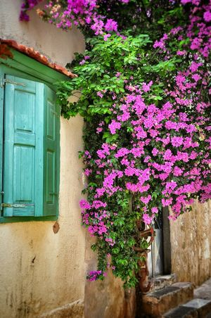 Pastel Power Bougainvillea Window Old House Springtime Spring Flowers Nature On Your Doorstep Natural Beauty Harmony Greek Islands Urban Spring Fever - Chios Greece Chios Greece