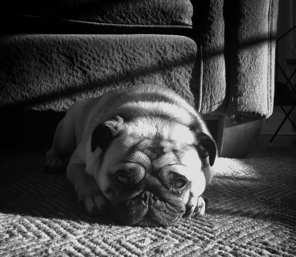 Portrait Of Pug Lying On Carpet At Home