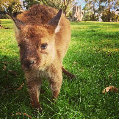 A Joey of a kangaroo. Australia Melbourne Ballarat  Wildlife kangaroo