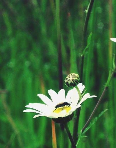 Daisy Flower Bugs Green Grass Summer Vibes