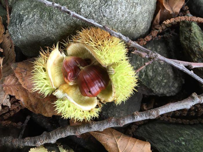 Untouched chestnut Nofilter#noedit EyeEm Nature Lover Chestnut Chestnuts Nature Naturelovers Deez Nuts Minamalism