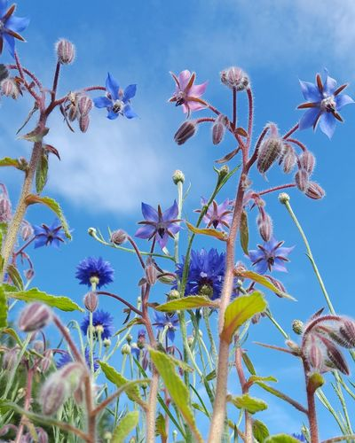 Flower Nature Blue Sky Plant Beauty In Nature Outdoors Growth Blossom Flower Head Freshness Cornflower Nature Greatbritishsummer Greatbritishcountryside Borage Rural Scene Insects  Insects  Beesofeyeem Agriculture Perspectives On Nature