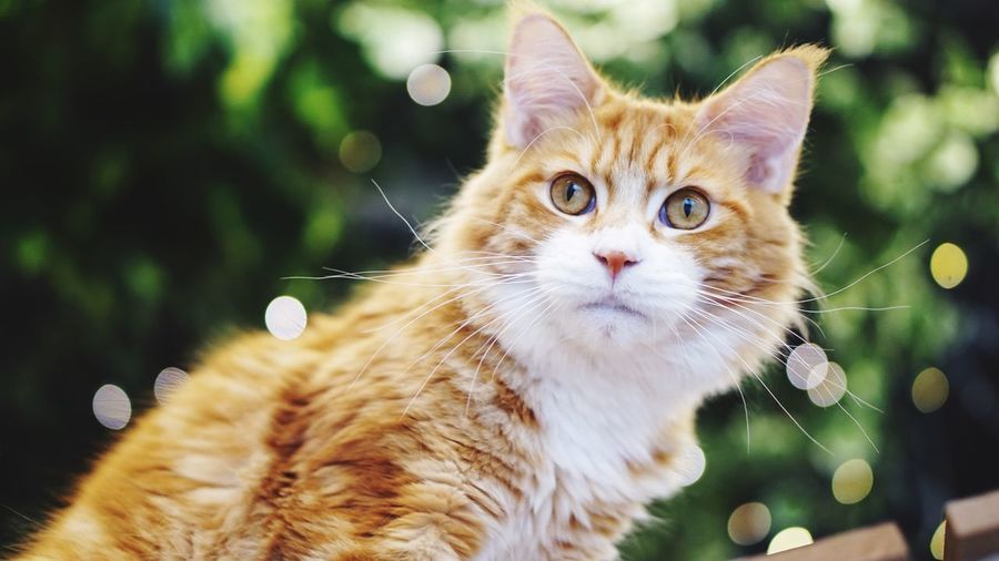 Domestic Cat Domestic Animals Pets Animal Themes One Animal Mammal Feline Whisker Focus On Foreground Looking At Camera Ginger Cat No People Close-up Day Tabby Cat Outdoors