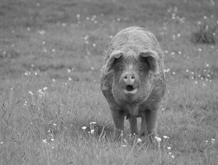 Portrait of pig on field