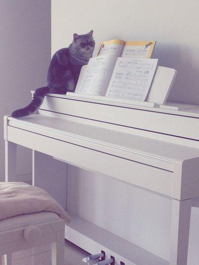 Taking Photos Mr.chip Cat♡ Cute♡ Exotic Cat Pet Photography  Piano Yamaha Baby