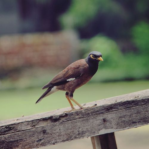 Close-Up Of Myna Perching On Wooden Fence