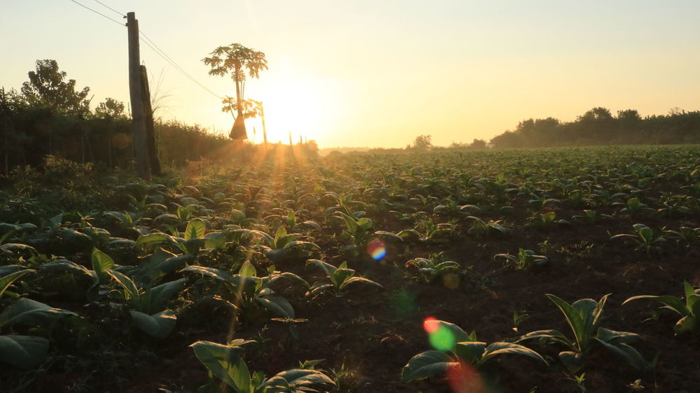 NongKhai,ThaiLand Tobacco Agriculture Beauty In Nature Country Life Countryside Day Field Growth Landscape Nature No People Outdoors Plant Rural Scene Scenics Sky Still Still Life Sunlight Sunset Tranquil Scene Tranquility Tree
