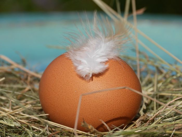 Close-Up Of Feather With Brown Egg On Hays