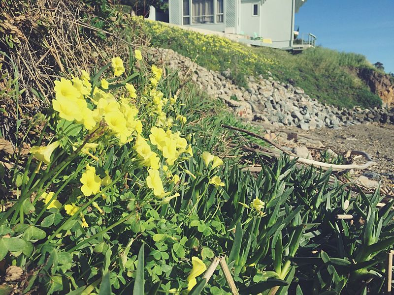 Spring Has Arrived Sour Grass Flowers Small Yellow Flowers California California Bay Area California Bay