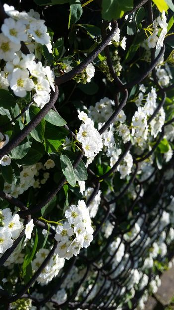 Tree Branch White Color Nature Growth Leaf Close-up Beauty In Nature Green Color Freshness No People Outdoors Hanging Springtime Day Focus On Foreground Fragility Low Angle View Full Frame Flower