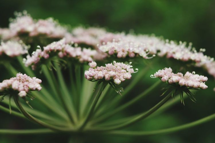 liliac mountain flower Canonphotography Canon Nature Green Eos77D EyeEm Selects Flower Head Flower Pink Color Blossom Botany Close-up Plant Green Color Pale Pink Lilac Flower Arrangement Bunch Of Flowers Inflorescence EyeEmNewHere