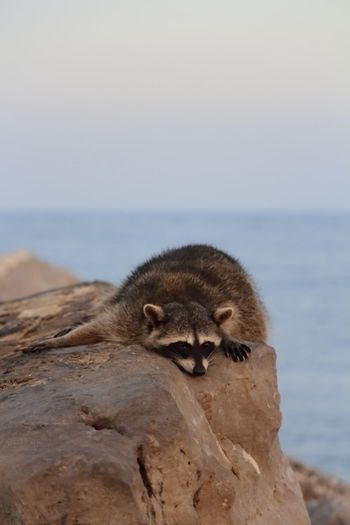 Close-up of raccoon on sea shore against sky