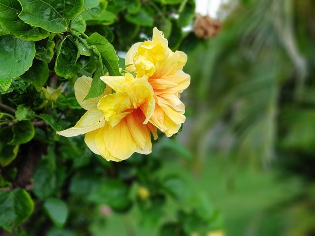Hibiscus double Jaune Beauty In Nature Blooming Close-up Day Flower Flower Head Focus On Foreground Fragility Freshness Green Color Growth Nature No People Outdoors Petal Plant Yellow