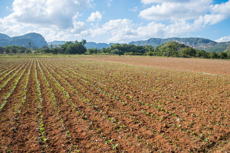 Cuba Field Growth Tobacco Viñales Agriculture Beauty In Nature Cloud - Sky Farm Field Landscape Mountain Nature Outdoors Plantation Plowed Field Rural Scene Scenics Sky Tranquil Scene Tranquility Tree Valley Vinales Cuba Viñales Valley